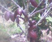 tajuk kakao