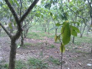 pembentukan tajuk kakao